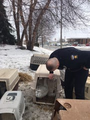Mansfield police Officer Nolan Goodman checks on some geese that were involved in a crash at Fifth and Diamond streets Tuesday afternoon. The geese had been rescued from North Lake Park.
