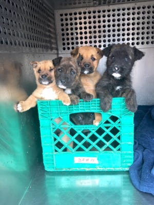 Five puppies were found in a crate in Phoenix on Feb. 15, 2018. They will be available for adoption at the Maricopa County shelter at 27th Avenue and Lower Buckeye Road on Feb. 17.