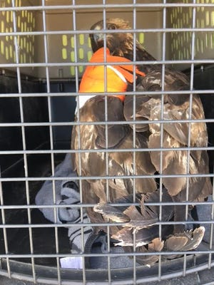 This adult male golden eagle was found injured at Navajo Agricultural Products Industry on March 21. The bird was missing its tail feathers, and its left wing tip was amputated after U.S. Fish and Wildlife Services took it into custody.