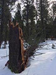 A hazard tree at Skidway Campground.