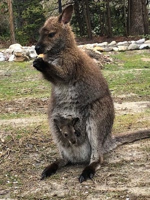 Rocko the missing wallaby of southern York County might look something like this wallaby from the Salisbury Zoo.
