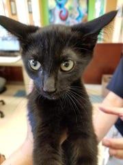 Baloo is an adorable, male, domestic short hair kitten