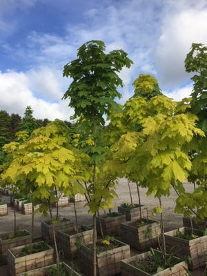 "Silver Creek Nurseries' green and gold maple tree ""The Leap."""