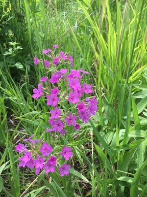 Prairie phlox is in bloom during a recent tour of the Three Rivers Wildlife Management Area in Humboldt County.