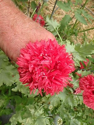 This double poppy comes back every year in my vegetable garden.