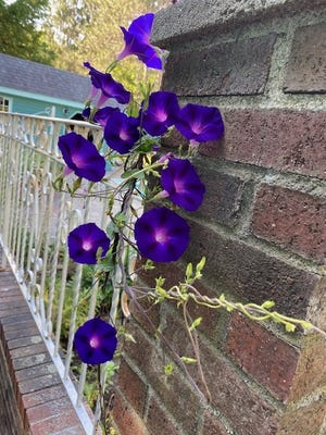 Morning glories bloom in Acton.