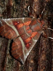 Moth's Night Out is on tap for Wednesday at the Butterfly Gardens of Wisconsin in Appleton. Join moth experts — as well as the Yard MD — for a night hike by flashlight searching sugared trees, light traps and other areas for spectacular, colorful moths of the night.