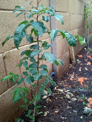 This looks to be a young Carob tree or Ceratonia siliqua. This tree becomes a large shade tree (30x40ft), and really needs room to grow. You probably have one nearby and the seed was deposited by your fence and took hold.