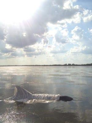 SeaWorld Orlando officials rescued this stranded, sunburned bottlenose dolphin on Thursday, June 13, 2013, on Merritt Island, Fla.