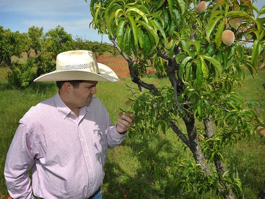 Clay County Extension Agent Bill Holcombe checks on fruit growing on Ken Jiton's peach orchard in Charlie. Farming has a significant economic impact in the area.