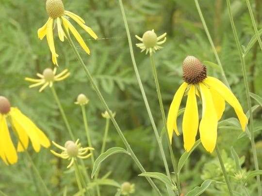 Yellow Coneflowers flourish at Little Manitowoc Prairie.
