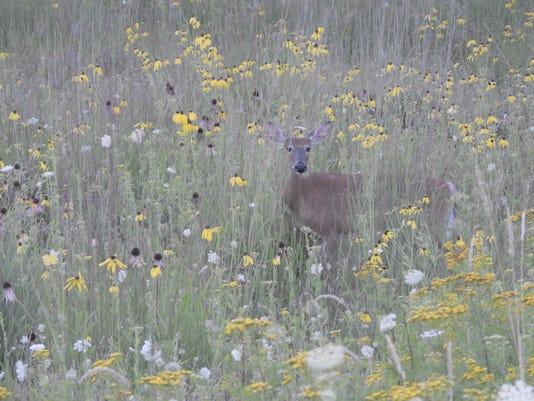 636065942968020225-Deer-in-prairie.jpeg