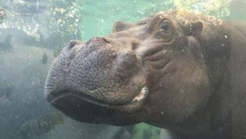 With funding secured for the $7.3 million hippo exhibit, the hippos are scheduled to return to the Cincinnati Zoo and Botanical Garden for summer 2016, zoo officials announced Thursday.