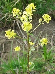 The common winter cress, or yellow rocket, Barbarea
