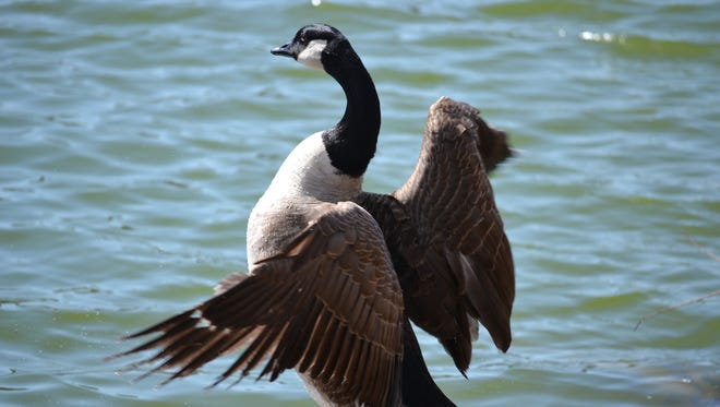 The Ocean Pines Association Board of Directors in 2014 agreed to spend $6,500 to control the growing number of resident Canada geese with a variety of nonlethal methods. In 2018 the OPA contracted with the USDA to have most of the geese killed without explicitly informing residents in advance.