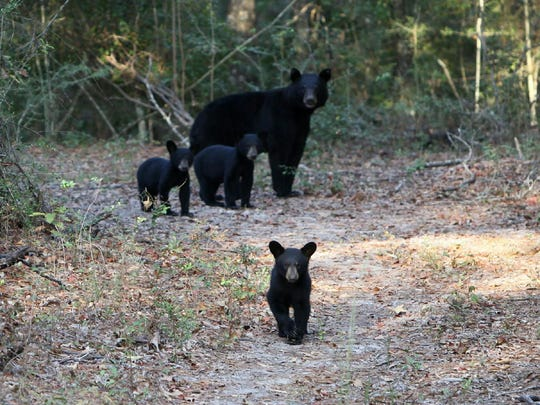 An Auburn University study on the black bear population in Alabama shows a growing number of bears in northeast Alabama and a distinct genetic group in southwest Alabama. The state has two areas with bear populations: one with an estimated 30 bears centered around Little River Canyon near Fort Payne and another with an estimated 85 bears in Mobile and Washington counties north of Mobile.