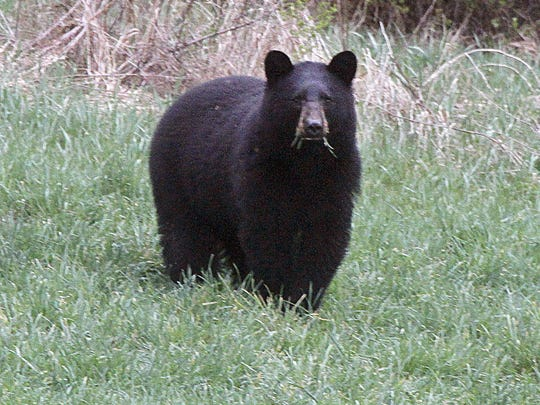 Bear Hunt Big Year_Redm