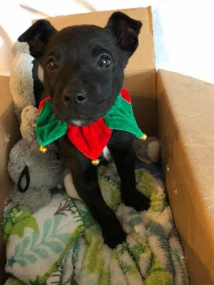 Snowflake was rescued by the Detroit Pit Crew on Dec. 7, 2017, after a child left the puppy in a box outside Ronald Brown Academy on Detroit's east side.