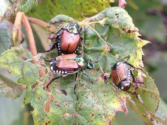 APC 070814 Yard MD BLOG Japanese beetles.jpg