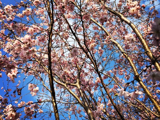 Pelham Arts Center hosts its annual cherry blossom festival in April.
