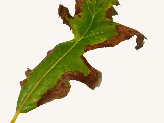 Moisture stress may be the culprit for bur oak conundrum