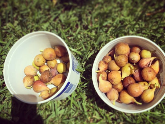 It's fig season in Louisiana, but it'll be over before you know it.