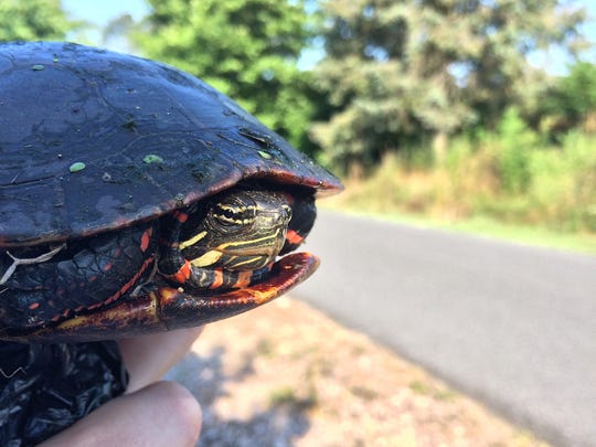 Be gentle, but firm, when picking up turtles.