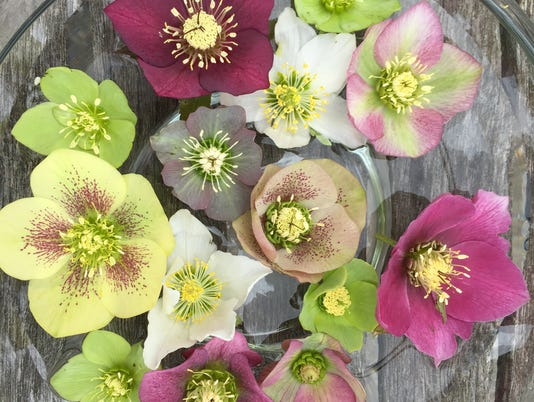 636566349477105850-helleborus-collection-3-18-15.jpg