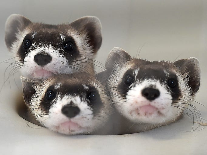 Three ferrets poke their heads out of a hole in a cage at the Black Footed Ferret Recovery Program north of Fort Collins Monday Sept. 2, 2014. About six ferrets will be released into the Soapstone Prairie Natural Area on Wednesday.