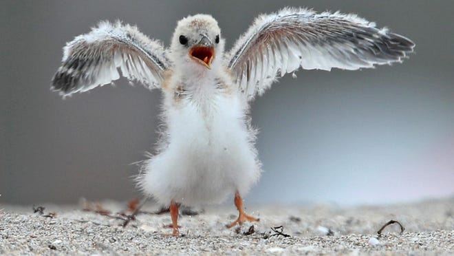 A baby least tern flaps its wings near its nest in Deerfield Beach on July 15. A large section of the beach has been closed off due to the formation of a colony by the seabirds.