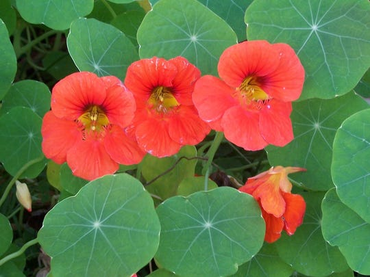 Nasturtium blossoms, which are suitable for salads, were still in their glory during the second week of November.