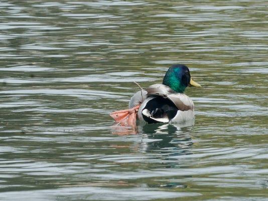 YDR-SH-040418-duck-1.jpg