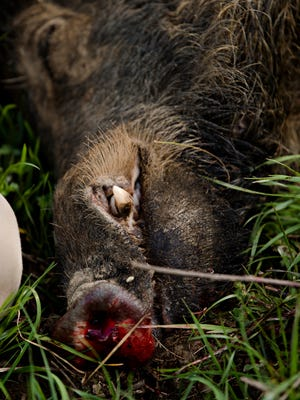 A feral hog that was shot from a USDA helicopter during a USDA feral swine control program at the Grey Rock Ranch in western Autauga County on Thursday, Feb. 22, 2018. The USDA feral swine control program was to reduce feral swine as part of the National Feral Swine Damage Management Program aimed at stabilizing and then eradicating feral swine, which are considered an invasive species.