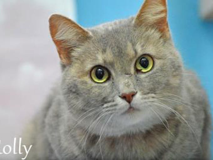 Holly is a gorgeous 3-year-old taupe Dilute Calico.