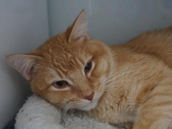 Toby is a loving 2-year-old orange tabby who likes