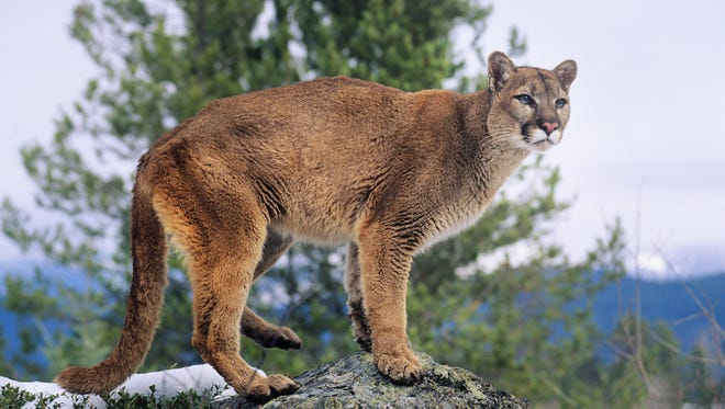 A file photo of a mountain lion standing on rock.