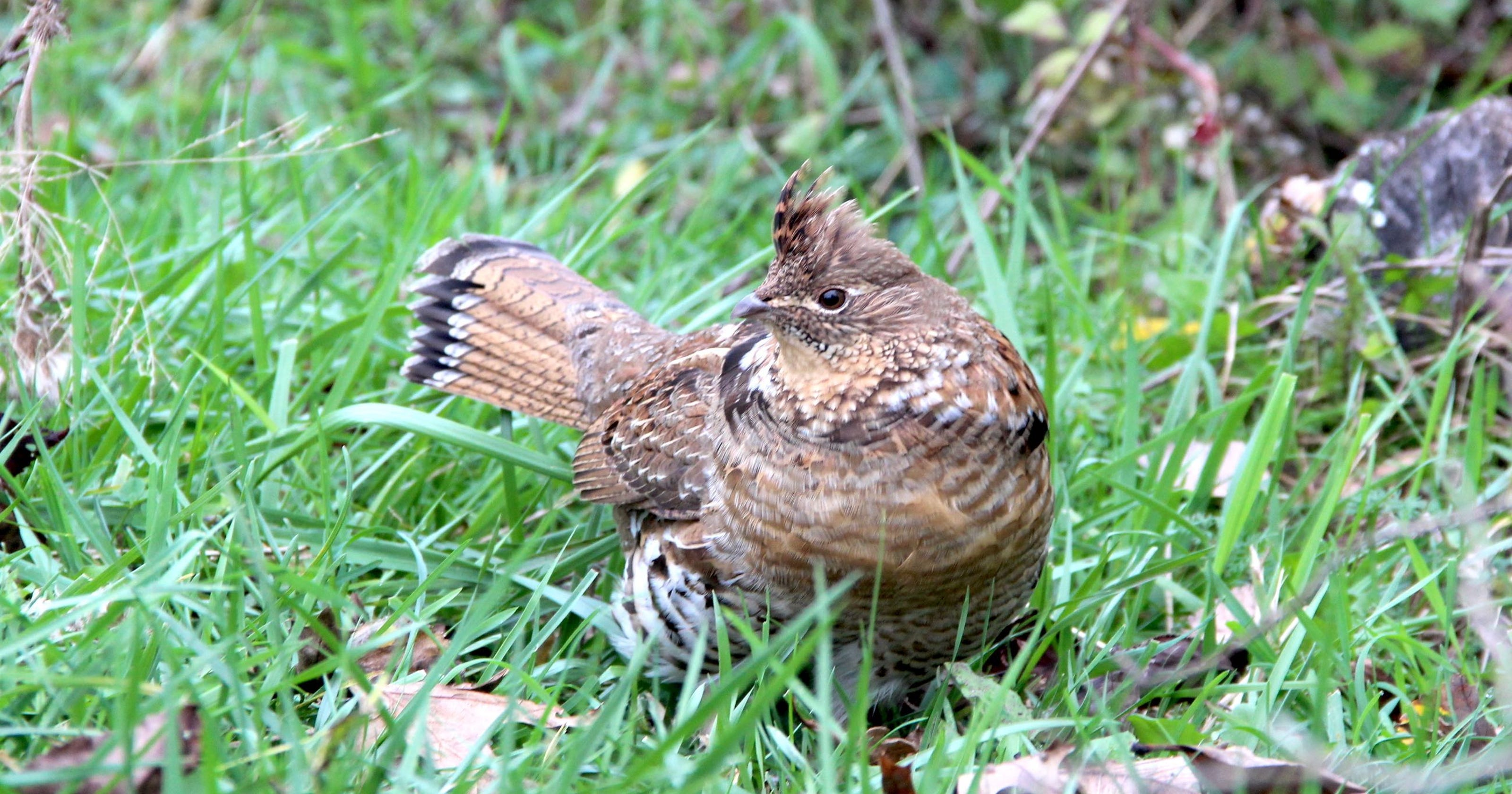 ruffed grouse profile rises with west nile debate about season