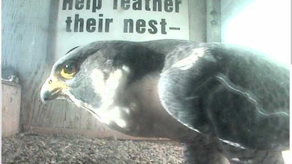 Sesenta, a young male peregrine falcon, in the Downtown nestbox.