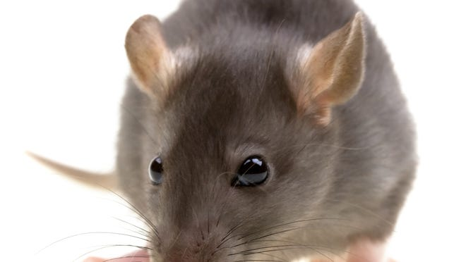 Domesticated rats are social, clean and affectionate.