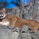 A mountain lion was killed Saturday in Glacier National Park during a fight with a dog.