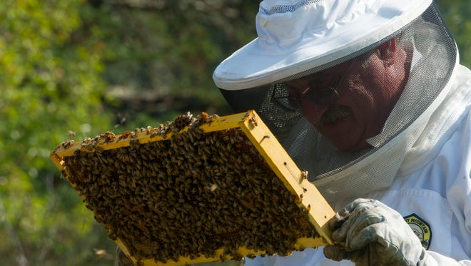 Doug Slocum, proprietor of Doug's Other Honey, examines a brood frame loaded with honey bees.  (J. Miles Cary/News Sentinel)