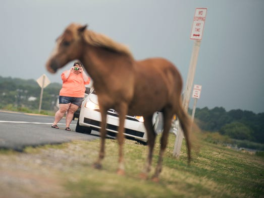 A woman pulls over near the exit of Assateague State Park to photograph a wild horse.