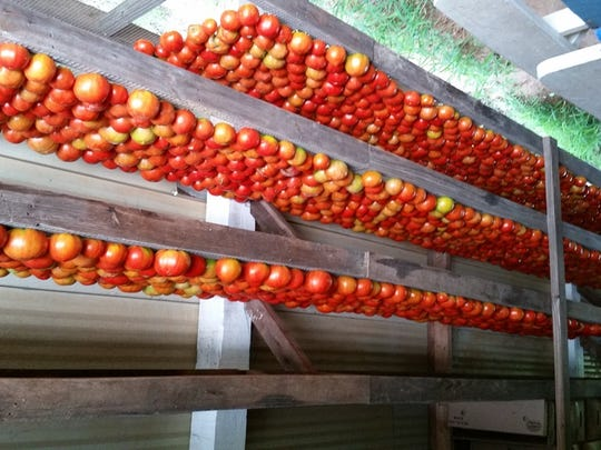 Tomatoes harvested by Bossier Parish inmates.