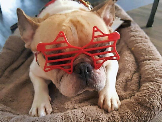 Henri, a French bulldog, suffers from allergies to seasonal pollens, human dander and horsehair.