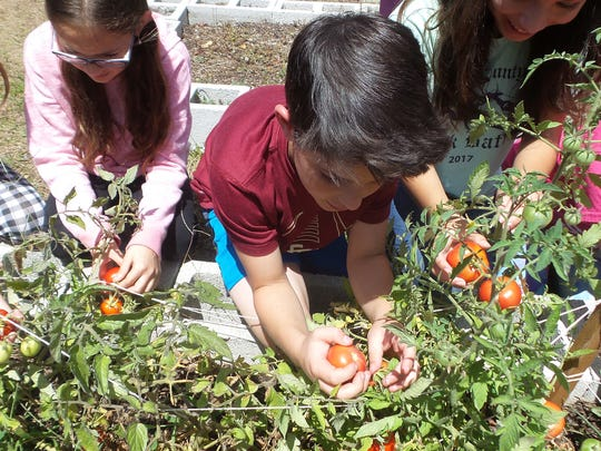 Nick Bloomston, center, picks tomatoes grown in a class experiment. Half the seeds spent time at the International Space Station while the other half stayed here on Earth. Other students in the photo are Jackie Slobodzian, Pia Cinalli, Zioanny Quinones and Maddon McDonald.