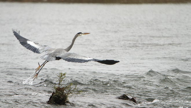 A blue heron takes off from White River near Red-tail Land Conservancy's John Craddock Wetland Nature Preserve.