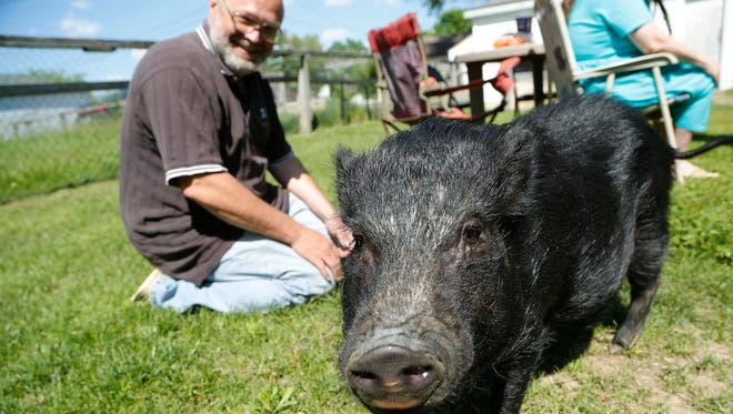 Travis Moore, background, smiles after feeding a carrot to Penelope Thursday, May 2015, in the back yard of their home in the 1000 block of S. Third Street in Lafayette. Penelope gained fame during the fugitive standoff last Saturday. The pig was in one of the houses next door to home where the squad car fugitive was holed up.