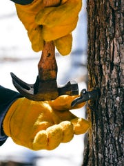 After a hole is drilled, a spile is tapped into the tree trunk that holds a bucket to collect sap as collection starts Friday, Feb. 25, at St. John's University.