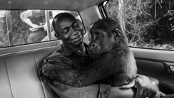 Pikin, a lowland gorilla, had been captured and was
