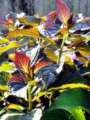 Hydrangeas with intriguing foliage are a goal in breeding programs.